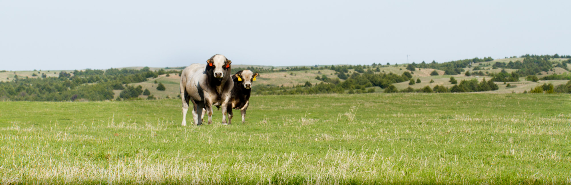 Landscape-Cattle.jpg